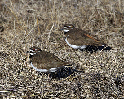 Photograph - Killdeer Pair by Liz Masoner