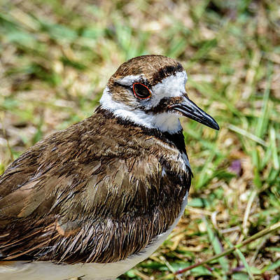 Photograph - Killdeer Profile by Debra Martz
