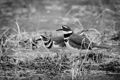 Photograph - Killdeer Seeking by Jeff Phillippi