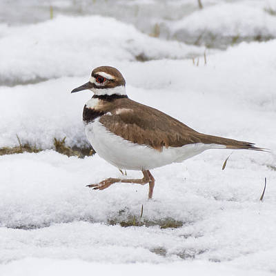 Killdeer Photograph - Killdeer Square by Bill Wakeley
