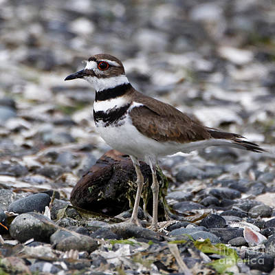 Photograph - Killdeer by Sue Harper