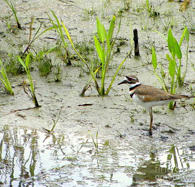 Photograph - Killdeer  by Terri Mills