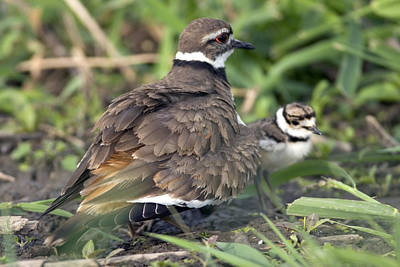 Photograph - Killdeer With Chicks by Craig Strand