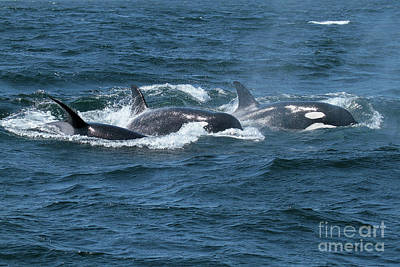 Photograph - Killer Whales- Orcas In Monterey Bay May 11, 2017 by California Views Mr Pat Hathaway Archives