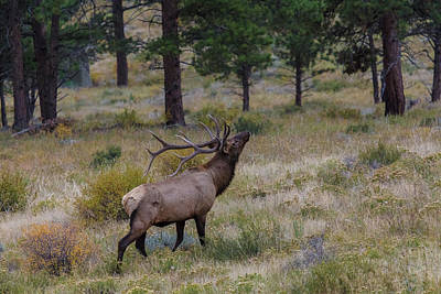 Photograph - King Of The Pines  by Jaquita Watters