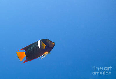 Firefighter Patents - King Angelfish - Holocanthus passer by Anthony Totah