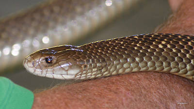 Photograph - King Brown Snake 1 by Gary Crockett