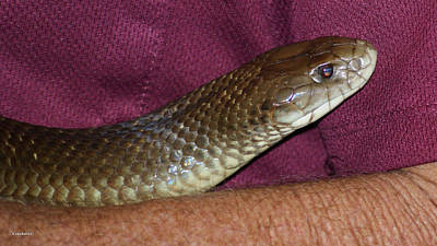 Photograph - King Brown Snake 10 by Gary Crockett
