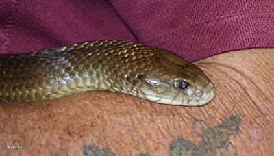 Photograph - King Brown Snake 11 by Gary Crockett