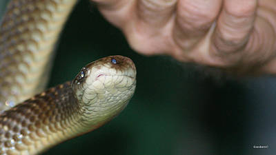Photograph - King Brown Snake 13 by Gary Crockett