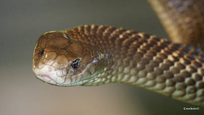 Photograph - King Brown Snake 3 by Gary Crockett