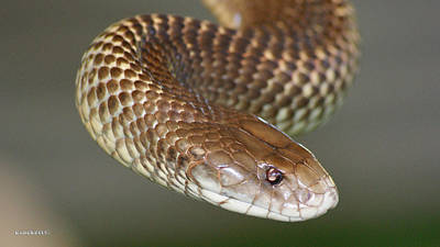 Photograph - King Brown Snake 4 by Gary Crockett