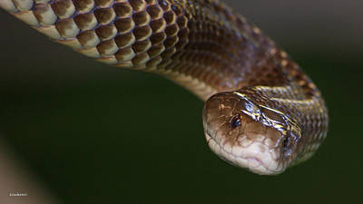 Photograph - King Brown Snake 5 by Gary Crockett