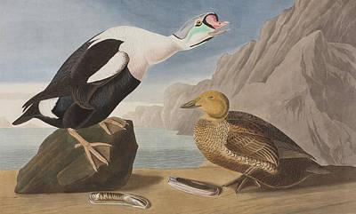 King James Painting - King Duck by John James Audubon