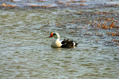 Photograph - King Eider by Anthony Jones