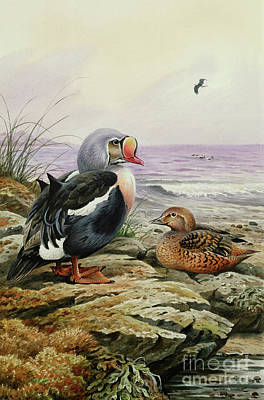 Ducks Painting - King Eider by Carl Donner