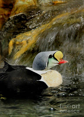 Photograph - King Eider by Lee Dos Santos