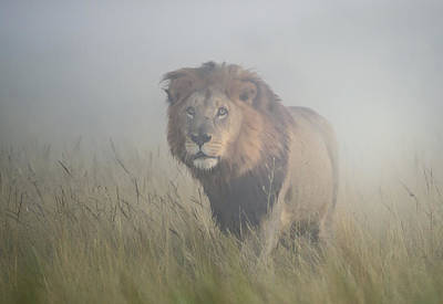 Panthera Photograph - King In The Mist by Frits Hoogendijk