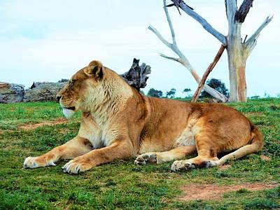 Photograph - King Lion by Jennifer Baulch