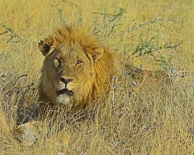 Photograph - King Of Beasts by Tony Beck