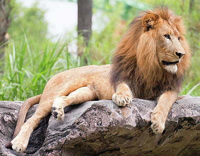 Photograph - King Of The Jungle by Mike Sperduto