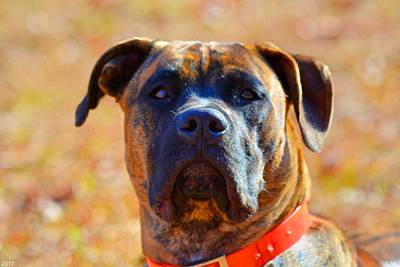Brindle Photograph - King Of My Home by Lisa Wooten