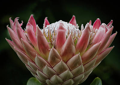 Photograph - King Of Proteas by Shirley Mitchell
