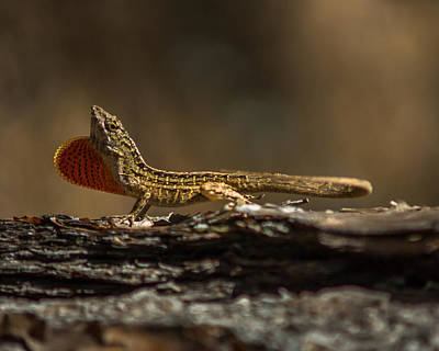 Photograph - King Of The Anoles by Chris Bordeleau