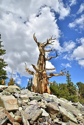 Photograph - King Of The Bristlecones by Ray Mathis