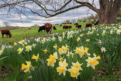 Photograph - King Of The Daffodils by Bill Wakeley