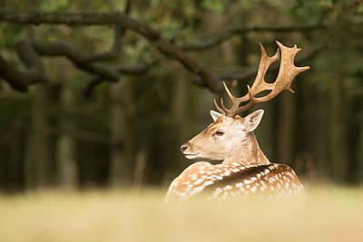 King Of The Forest _ Fallow Deer Buck Art Print