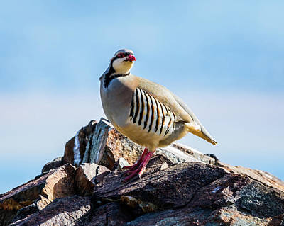 Photograph - King Of The Hill - Chukar Partridge by TL Mair