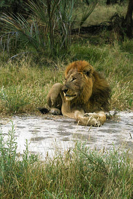 Photograph - King Of The Jungle by Karen Zuk Rosenblatt