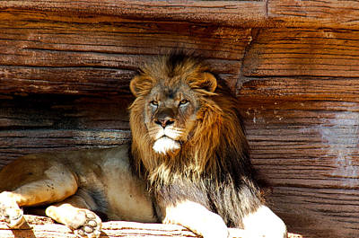 Photograph - King Of The Jungle by Linda Brown