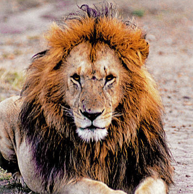 Photograph - The Loin King by Patrick Kain