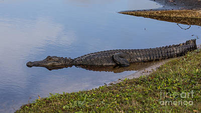 Crocodile Photograph - King Of The Lake by Zina Stromberg