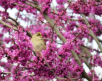 Photograph - King Of The Redbud by KJ Swan