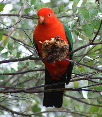 Realism Photograph - King Parrot by Brian Leverton