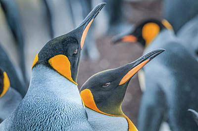 Photograph - King Penguins by Usha Peddamatham