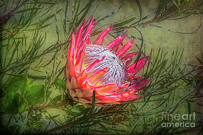 Photograph - King Protea by Elaine Teague