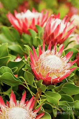 Protea Photograph - King Protea Flowers by Simon Bratt Photography LRPS
