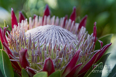 King Protea Island Flowers Jewel Of The Garden Art Print