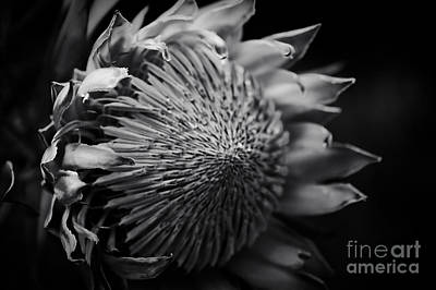 Photograph - King Protea - King Sugar Bush Kula Maui Hawaii by Sharon Mau