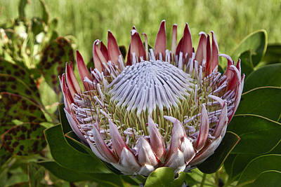 Photograph - King Protea by Michele Burgess