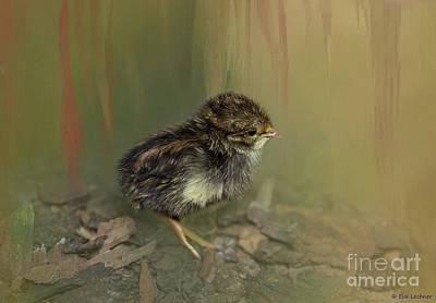 Photograph - King Quail Chick by Eva Lechner