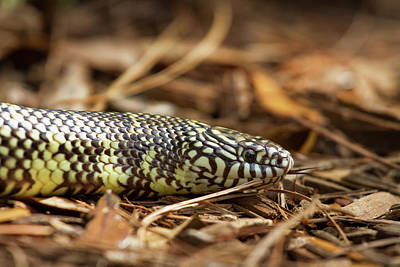 Photograph - King Snake 1 by Arthur Dodd