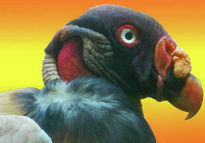 Photograph - King Vulture I by Emmy Vickers