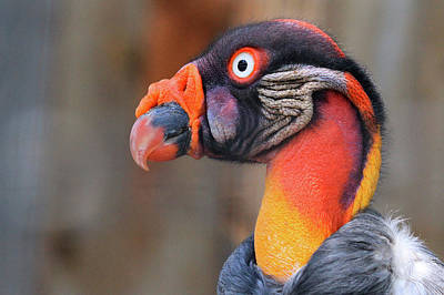 Photograph - King Vulture by Paul Marto