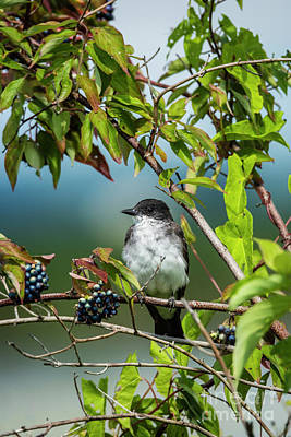 Photograph - Kingbird And Berries by Joann Long