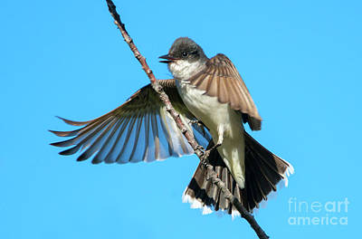 Kingbird Photograph - Kingbird Landing by Mike Dawson
